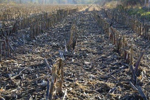 cornfield  autumn  harvested