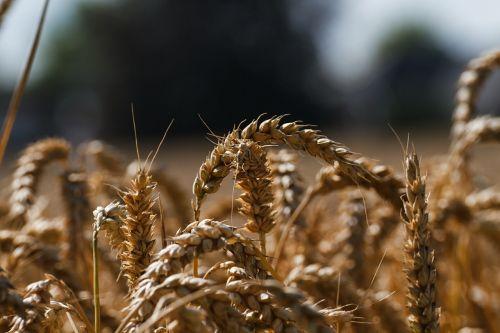 cornfield wheat wheat field