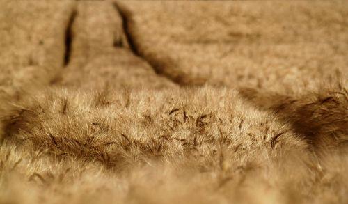 cornfield field cereals