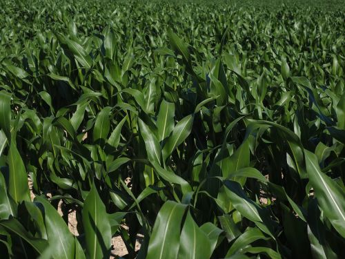 cornfield corn cultivation agriculture
