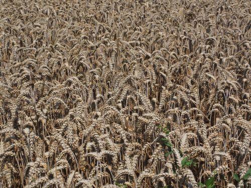cornfield wheat field wheat