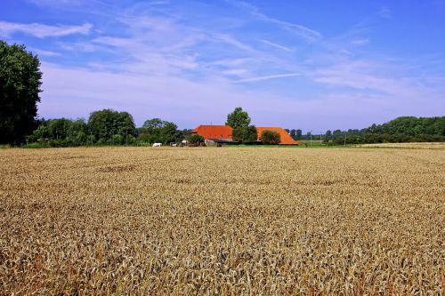 cornfield agriculture homestead