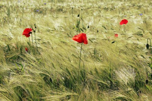 cornfield poppies red