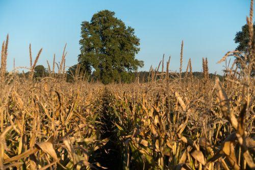 cornfield corn zea mays