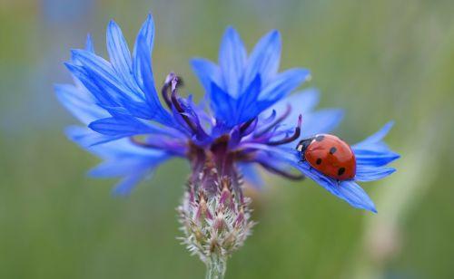 cornflower ladybug siebenpunkt