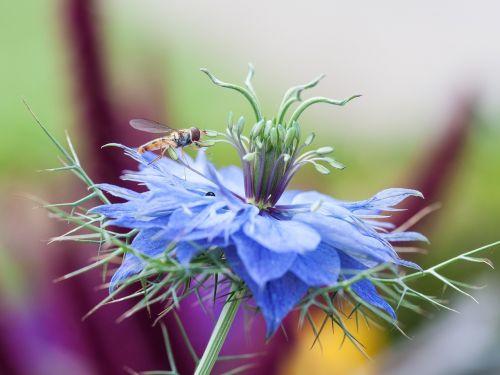 cornflower hoverfly macro