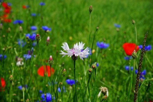 cornflower white flower