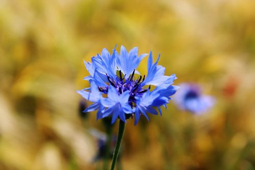 cornflower centaurea cyanus zyane
