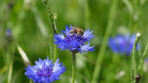 rugiagėlė,žiedas,žydėti,mėlynas,gėlė,vasara,augalas,apdulkinimas,bičių,laukas,flora,Uždaryti,laukinės gėlės,aliejiniai rapsai,žiedadulkės