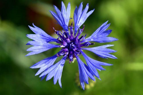 rugiagėlė,mėlynas,gėlė,žiedas,žydėti,vasara,laukinė gėlė,augalas,žydėjo,Uždaryti,violetinė,gamta,lauko gėlė,žydėti,vasaros gėlė,mėlyna gėlė