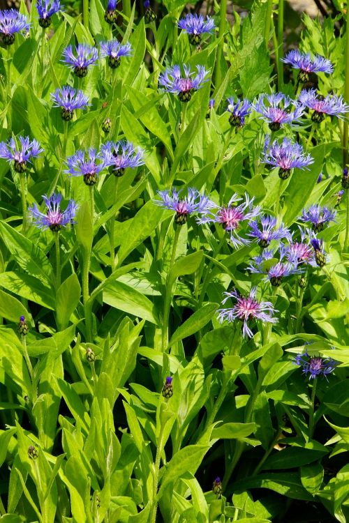 cornflower flowerbed blue flowers