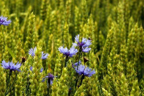 cornflower cereals summer