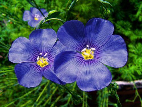 cornflower blue flower spring flower