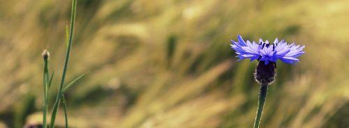 cornflower blue blossom