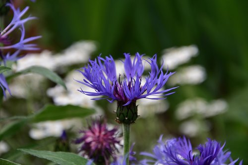 cornflower blue  spring  flowers