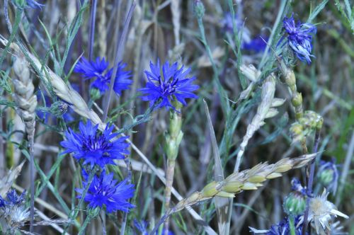 cornflowers,blue flower,late summer