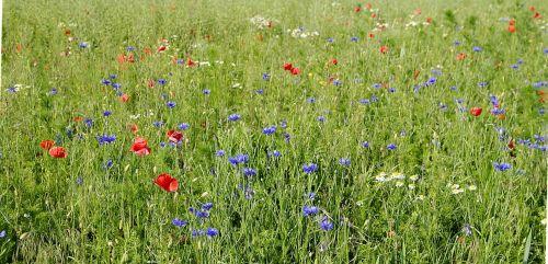 cornflowers field meadow