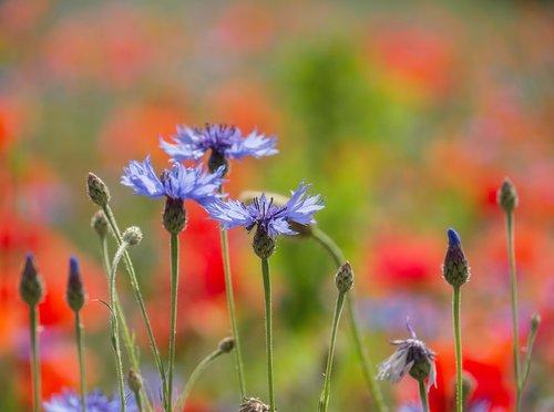 cornflowers  poppy  nature
