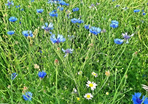 cornflowers  meadow  nature