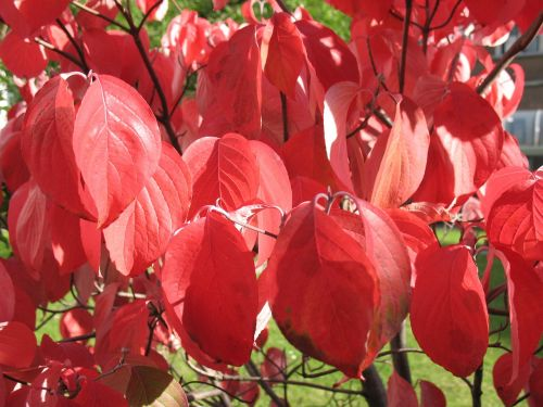 cornus autumn bush