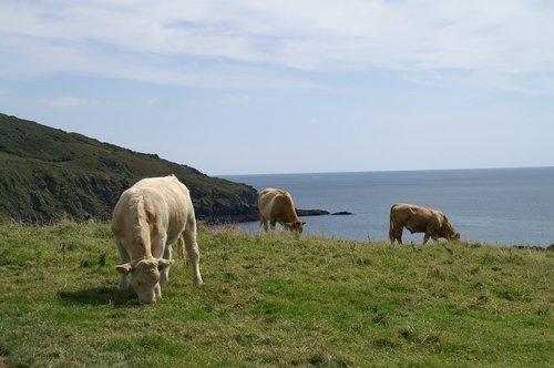 cornwall  cows  pasture