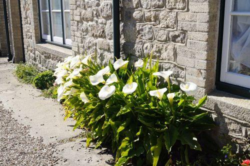cornwall flowers calla