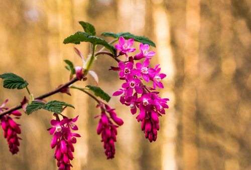 corpuscle ribes sanguineum blossom