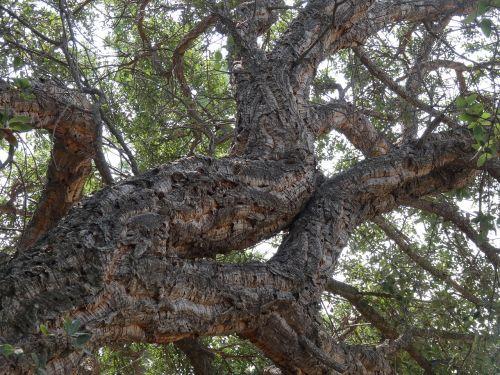 corsica cork oak skyward