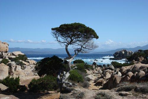 corsica  tree  sea