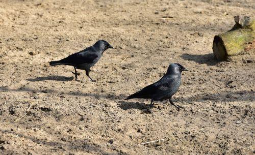 corvidae black bird