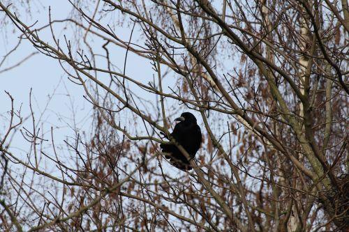 corvidae crow birds