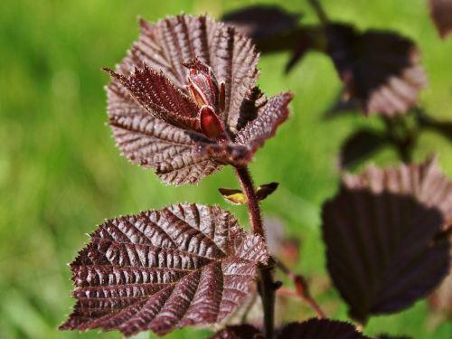 corylus avellana hazel red leaves