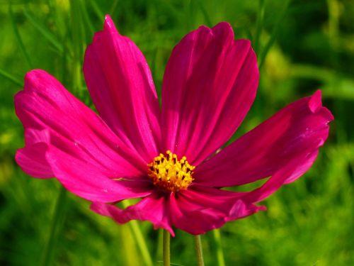 cosmea,kosmosas,gėlė,žiedas,žydėti,cosmea bipinnata,Uždaryti,raudona,kompozitai,gėlių pieva