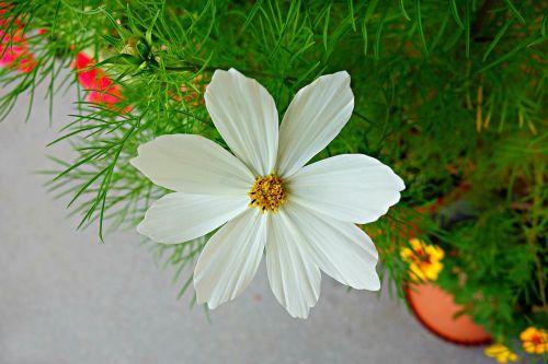 cosmea flower plant