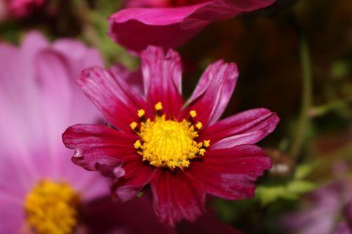 cosmea,kosmosas,rožinis,Uždaryti,krūmų vasara,vasara,žiedas,žydėti,kompozitai,gėlių sodas,žiedynas,žydėti,rožinė gėlė