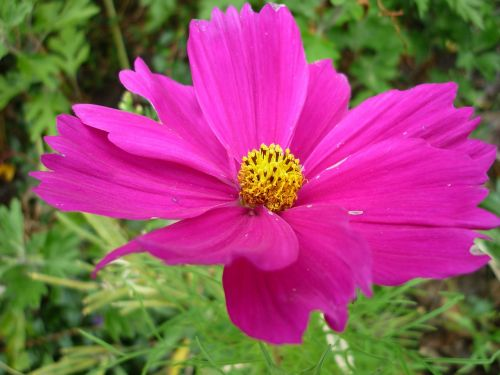 cosmea nature flower