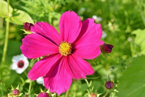 cosmea  flower  cosmos