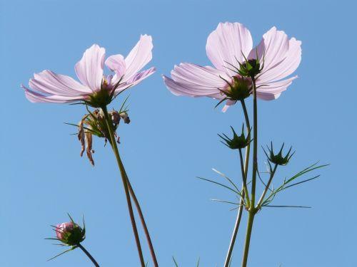 cosmea flower blossom