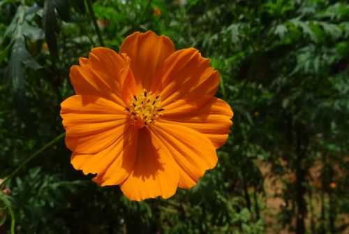 cosmos golden flower