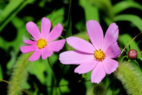 cosmos plants nature