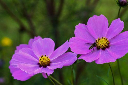 cosmos garden flower