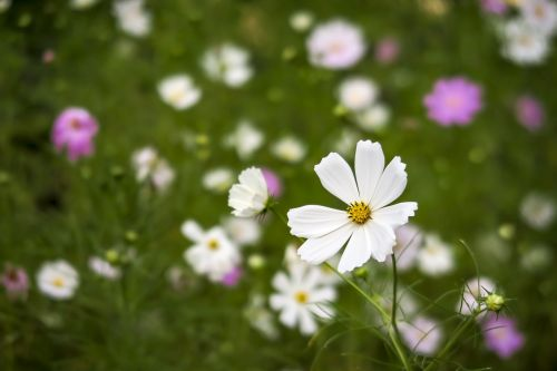 cosmos flowers nature