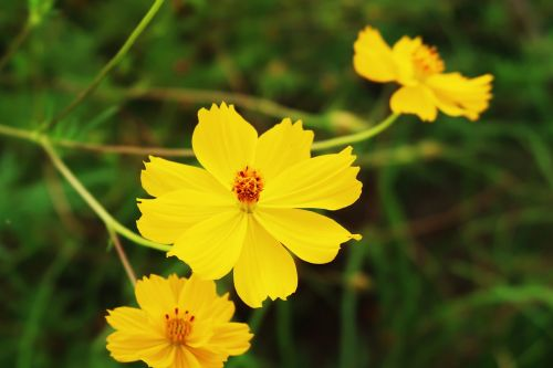 cosmos yellow cosmos flower garden