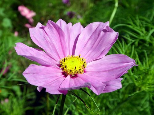 cosmos flower pink
