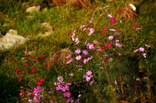 cosmos flowers autumn
