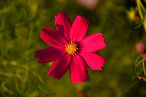 cosmos flowers plants