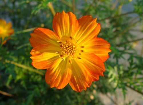 cosmos bicolor flower