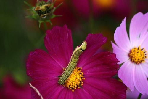cosmos  larva  bug