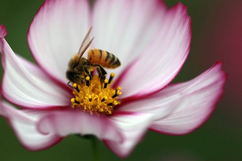 cosmos bee the universe