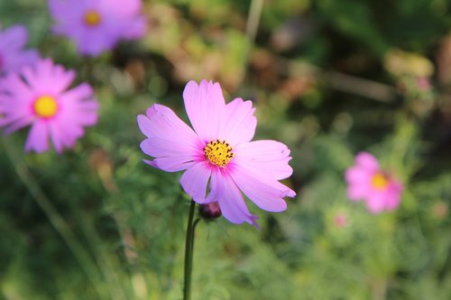 cosmos  cosmos flower  flowers